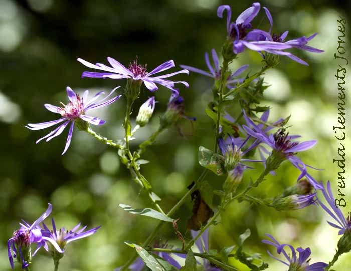 Clasping Aster or Late Purple Aster, Symphyotrichum patens