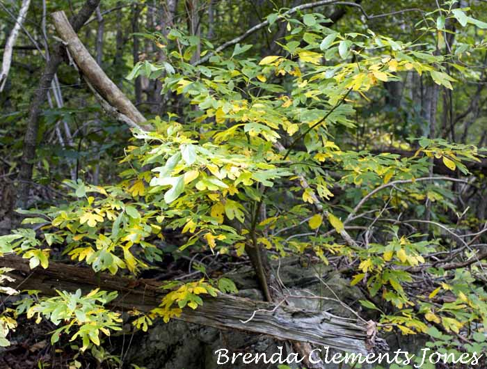 Sassafras, Going From Rich Deep Emerald To Lemon And Lime