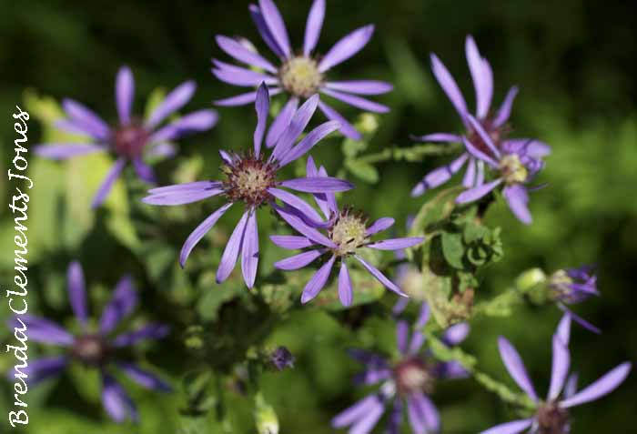 Clasping Aster, Symphyotrichum patens