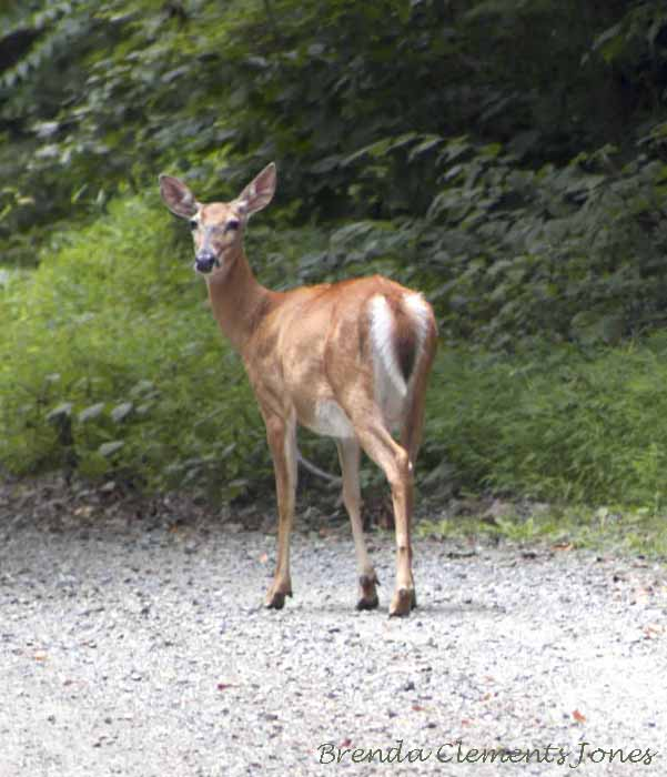 The White-Tailed Deer Is Thriving In Large Part Because Of Human Activity In Both Suburban And Agricultural Areas