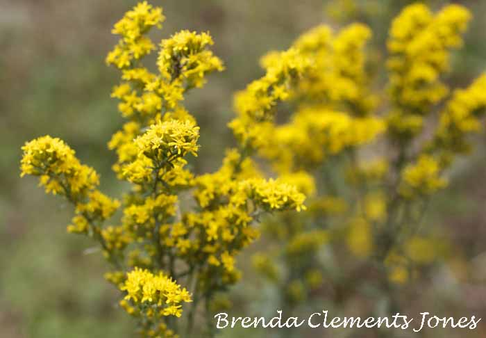 A Busy Clump Of Goldenrod