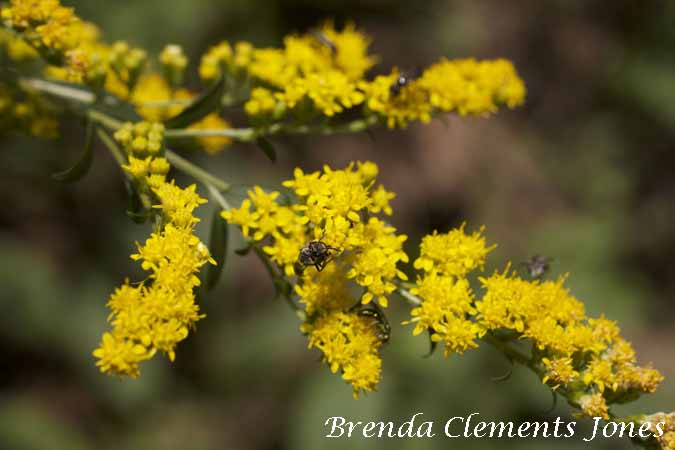 Goldenrod, species to be determined