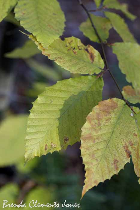 American Beech, Fagus grandifolia, With Its Edge Of Pointed Teeth