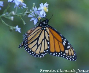 A Good Day For Monarchs