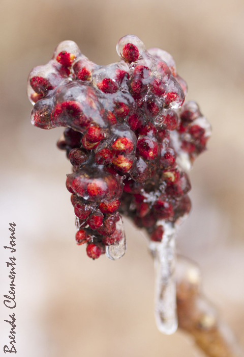 Smooth Sumac, Rhus glabra