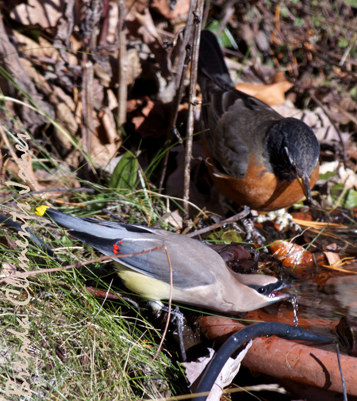 Best buds at the old watering hole. I often see Cedar Waxwings and American Robins hanging out together.