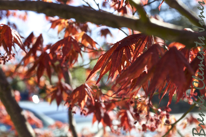 Japanese Red Maple with sun shining through its leaves making them even more brilliant