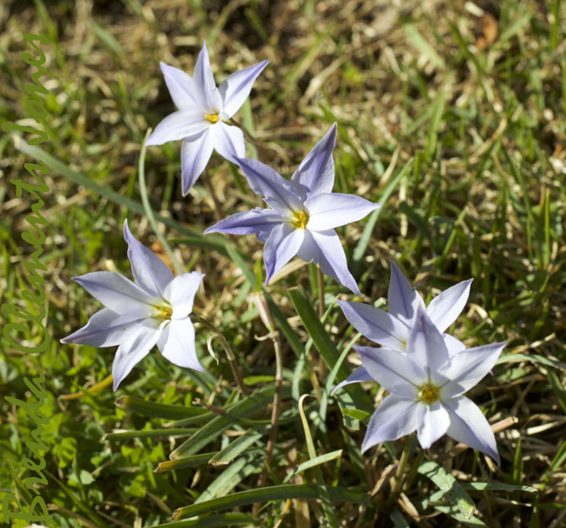 Springstar, Ipheion uniflorum, related to onions, is a new flower to me