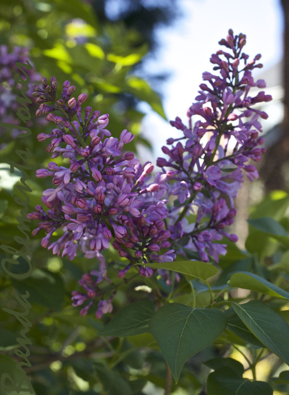 Lilacs in bloom with their fantastic fragrance filling the air