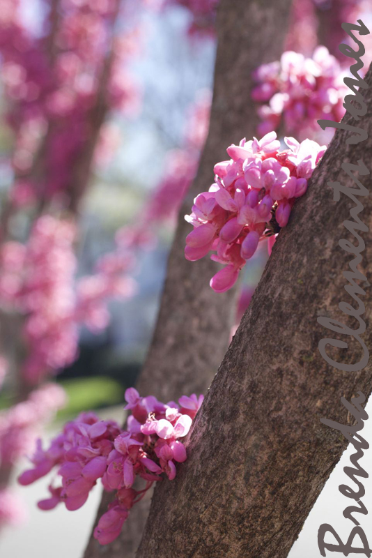 Redbud covering the streets with pink cheer
