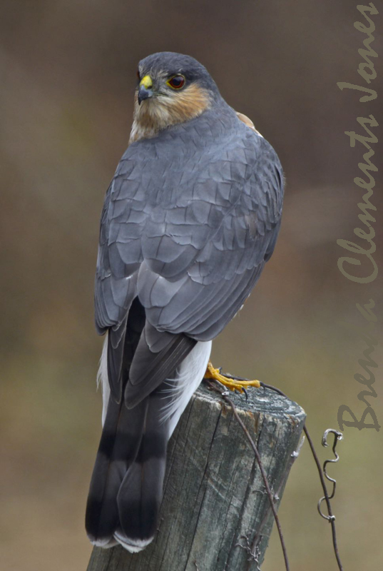 Whats For Lunch Asked Coopers Hawk >> Cooper S Hawk