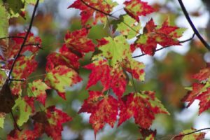Red Maple Common Beauty